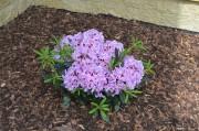 "Rhododendron ""ALEXIS"" - pěnišník"