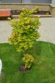 "Acer shirasawanum ""AUREUM"" - javor japonský"