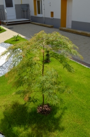 "Acer palmatum ""DISSECTUM (VIRIDIS)"" - javor japonský"