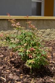 "Acer palmatum ""UKIGUMO"" - javor dlanitolistý"