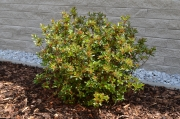 "Azalea japonica ""STEWARTSTONIAN"" - japonská azalka"