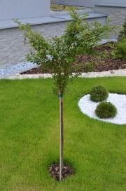 """Prunus incisa """" KOJOU-NO-MAI """" - slivoň vyříznutá"""