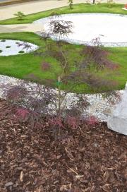 "Acer palmatum ""GARNET"" - Javor dlanitolistý"