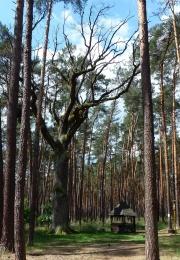 Žilkův dub